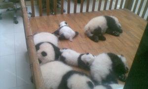成都ジャイアントパンダ繁殖研究センター